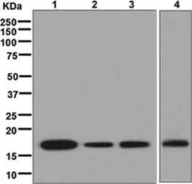 Western blot - Anti-Cyclophilin A antibody [EPR7511] - BSA and Azide free (ab248157)