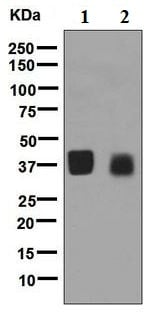 Western blot - Anti-OIF antibody [EPR6963] - BSA and Azide free (ab248165)