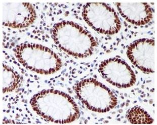 Immunohistochemistry (Formalin/PFA-fixed paraffin-embedded sections) - Anti-RRP42 antibody [EPR7452] - BSA and Azide free (ab248166)