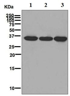 Western blot - Anti-RRP42 antibody [EPR7452] - BSA and Azide free (ab248166)
