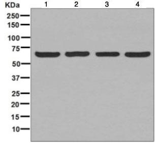 Western blot - Anti-STIP1/STI1 antibody [EPR6606] - BSA and Azide free (ab248167)