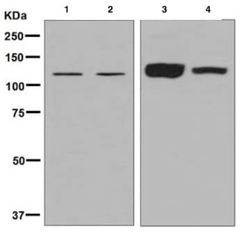 Western blot - Anti-Ube4a antibody [EPR7331] - BSA and Azide free (ab248191)