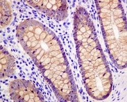 Immunohistochemistry (Formalin/PFA-fixed paraffin-embedded sections) - Anti-SPAK antibody [EPR6394] - BSA and Azide free (ab248204)