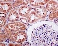 Immunohistochemistry (Formalin/PFA-fixed paraffin-embedded sections) - Anti-FAAH1 antibody [EPR7549] - BSA and Azide free (ab248219)