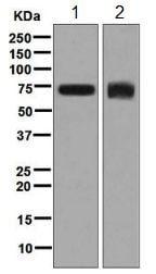 Western blot - Anti-DDX5 antibody [EPR7240] - BSA and Azide free (ab248227)