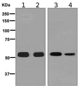 Western blot - Anti-Estrogen Related Receptor gamma antibody [EPR8100] - BSA and Azide free (ab248229)