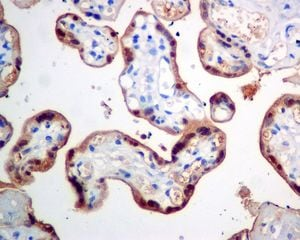 Immunohistochemistry (Formalin/PFA-fixed paraffin-embedded sections) - Anti-CLIC3 antibody [EPR8243(B)] - BSA and Azide free (ab248235)