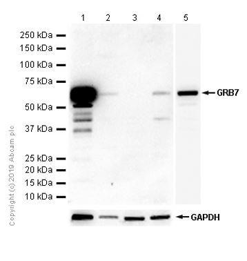 Western blot - Anti-GRB7 antibody [EPR6858] - BSA and Azide free (ab248294)