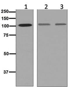 Western blot - Anti-SP3 antibody [EPR6806] - BSA and Azide free (ab248298)
