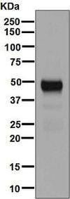 Western blot - Anti-NAPSIN A antibody [EPR6257] - BSA and Azide free (ab248340)