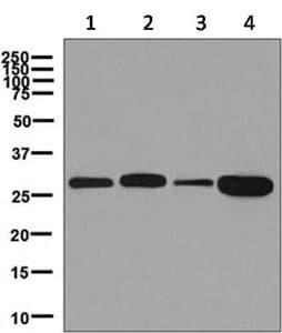 Western blot - Anti-PGAM1 antibody [EPR8042] - BSA and Azide free (ab248342)