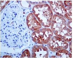Immunohistochemistry (Formalin/PFA-fixed paraffin-embedded sections) - Anti-HGD antibody [EPR7874] - BSA and Azide free (ab248354)