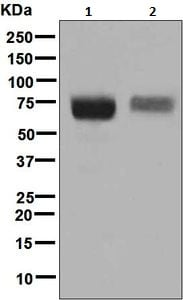 Western blot - Anti-CD84 antibody [EPR8325] - BSA and Azide free (ab248392)