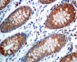 Immunohistochemistry (Formalin/PFA-fixed paraffin-embedded sections) - Anti-COX6B1 antibody [EPR7647] - BSA and Azide free (ab248401)