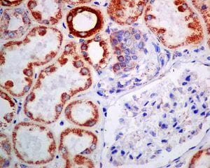 Immunohistochemistry (Formalin/PFA-fixed paraffin-embedded sections) - Anti-Fukutin antibody [EPR7913] - BSA and Azide free (ab248403)
