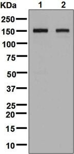 Western blot - Anti-BIG-2 antibody [EPR8736] - BSA and Azide free (ab248406)