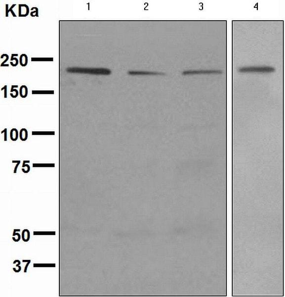 Western blot - Anti-BRG1 antibody [EPNCIR111B] - BSA and Azide free (ab248429)