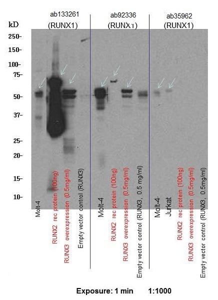 Western blot - Anti-RUNX1 / AML1+RUNX3+RUNX2 antibody [EPR3098] - BSA and Azide free (ab248432)