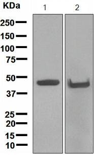 Western blot - Anti-Cytokeratin 18 antibody [EPR1625] - BSA and Azide free (ab248438)