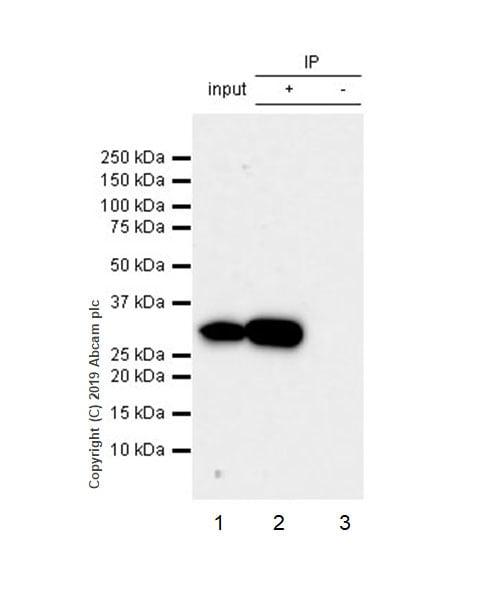 Immunoprecipitation - Anti-ARPC2 antibody [EPR8533] - BSA and Azide free (ab248468)