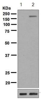 Western blot - Anti-Tuberin (phospho S664) antibody [EPR8202] - BSA and Azide free (ab248510)