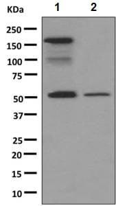 Western blot - Anti-IgG antibody [RIGG-69] - BSA and Azide free (ab248512)