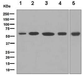 Western blot - Anti-MPP1 antibody [EPR5864] - BSA and Azide free (ab248525)