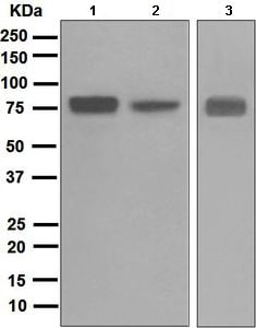 Western blot - Anti-Villin antibody [EPR3491(3)] - BSA and Azide free (ab248530)