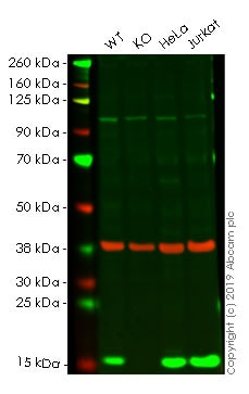 Western blot - Anti-Profilin 1 antibody [EPR6303] - BSA and Azide free (ab248536)