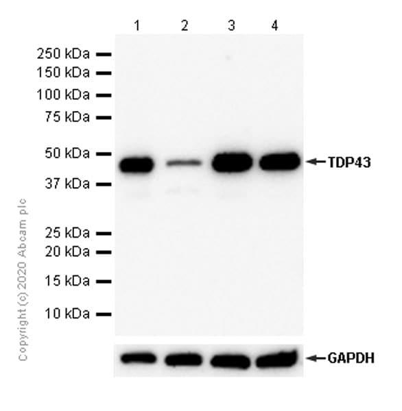Western blot - Anti-TDP43 antibody [EPR5811] - BSA and Azide free (ab248546)