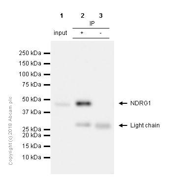 Immunoprecipitation - Anti-NDRG1 antibody [EPR5592] - BSA and Azide free (ab248558)