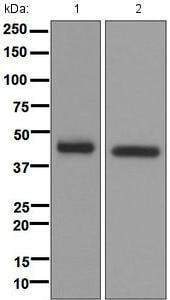 Western blot - Anti-NDRG1 antibody [EPR5592] - BSA and Azide free (ab248558)