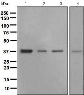 Western blot - Anti-Crk p38 antibody [EPR4984(2)] - BSA and Azide free (ab248562)