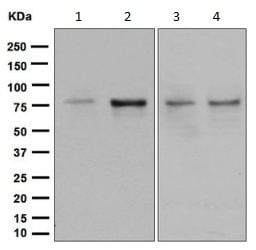 Western blot - Anti-SUN2 antibody [EPR6556] - BSA and Azide free (ab248569)