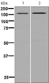 Western blot - Anti-Entactin/NID antibody [EPR8962(B)] - BSA and Azide free (ab248616)