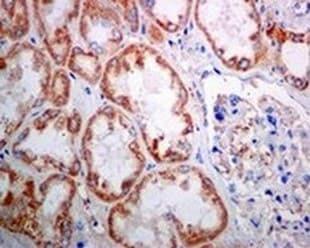 Immunohistochemistry (Formalin/PFA-fixed paraffin-embedded sections) - Anti-SAMM50/SAM50 antibody [EPR8718] - BSA and Azide free (ab248626)
