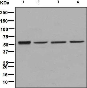 Western blot - Anti-SAMM50/SAM50 antibody [EPR8718] - BSA and Azide free (ab248626)