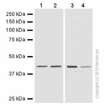 Western blot - Anti-67kDa Laminin Receptor antibody [EPR8468] - BSA and Azide free (ab248653)