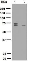 Western blot - Anti-PAK4 + PAK5 + PAK6 (phospho S474 + S560 + S602) antibody [EPR2471(2)] - BSA and Azide free (ab248680)