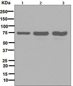 Western blot - Anti-SNX1 antibody [EPR7178] - BSA and Azide free (ab248691)