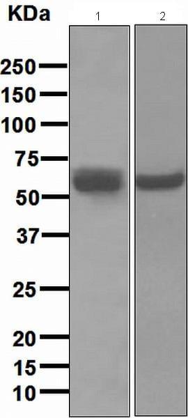 Western blot - Anti-Fibulin 5 antibody [EPR685] - BSA and Azide free (ab248696)