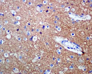 Immunohistochemistry (Formalin/PFA-fixed paraffin-embedded sections) - Anti-TrkB antibody [EPR1294] - BSA and Azide free (ab248704)
