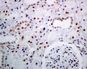 Immunohistochemistry (Formalin/PFA-fixed paraffin-embedded sections) - Anti-NOP10 antibody [EPR8857] - BSA and Azide free (ab248717)