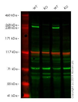 Western blot - Anti-mTOR antibody [EPR390(N)] - BSA and Azide free (ab248718)