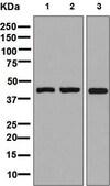 Western blot - Anti-GPCR GPR26 antibody [EPR7571(2)] - BSA and Azide free (ab248724)