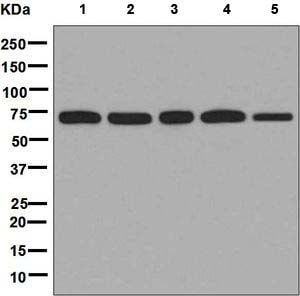 Western blot - Anti-LysRS antibody [EPR7920] - BSA and Azide free (ab248725)