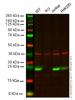 Western blot - Anti-GST3 / GST pi antibody [EPR8262] - BSA and Azide free (ab248739)