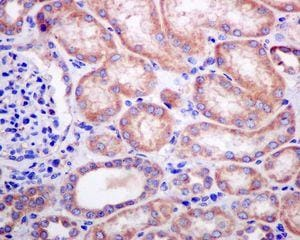 Immunohistochemistry (Formalin/PFA-fixed paraffin-embedded sections) - Anti-ERp18 antibody [EPR9024] - BSA and Azide free (ab248743)