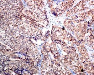 Immunohistochemistry (Formalin/PFA-fixed paraffin-embedded sections) - Anti-SCGN/Secretagogin antibody [EPR7477] - BSA and Azide free (ab248768)