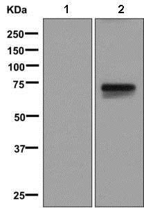 Western blot - Anti-Somatostatin Receptor 3/SSTR3 antibody [UMB5] - BSA and Azide free (ab248774)